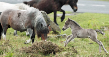 PRINCETOWN, ENGLAND - MAY 17: A Dartmoor Hill pony foal runs on the moor on Dartmoor on May 17, 2011 in Princetown England. Although a tourist attraction, especially during the foaling season and often seen as part of the landscape of Dartmoor, many ponies face an uncertain future due to unsustainable breeding and their falling market values. The charity South West Equine Protection estimates that last year 1500 ponies were slaughtered - with many being sold for lion meat to nearby zoos. Along with other equine charities, they are calling for the removal of stallions from the moor to bring numbers down to sustainable levels. (Photo by Matt Cardy/Getty Images)
