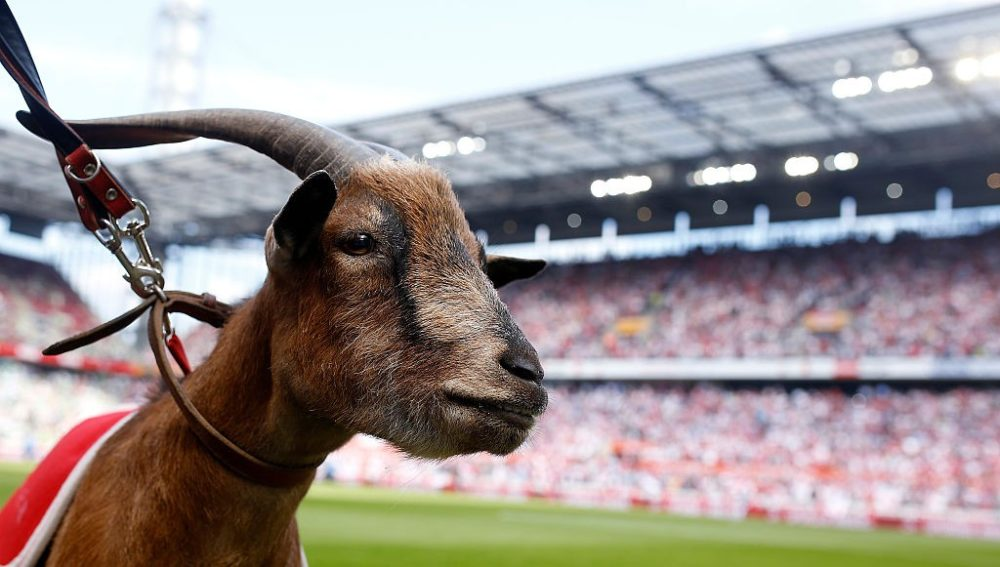 COLOGNE, GERMANY - AUGUST 22: 1.FC Koeln mascot Geissbock Hennes looks on during the Bundesliga match between 1. FC Koeln and VfL Wolfsburg at RheinEnergieStadion on August 22, 2015 in Cologne, Germany. (Photo by Mika Volkmann/Bongarts/Getty Images)
